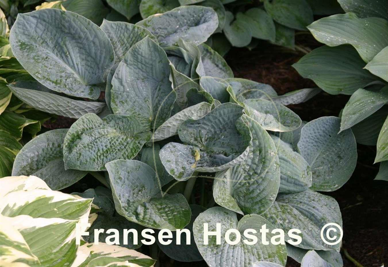 hosta big daddy funkie fransen hostas. Black Bedroom Furniture Sets. Home Design Ideas