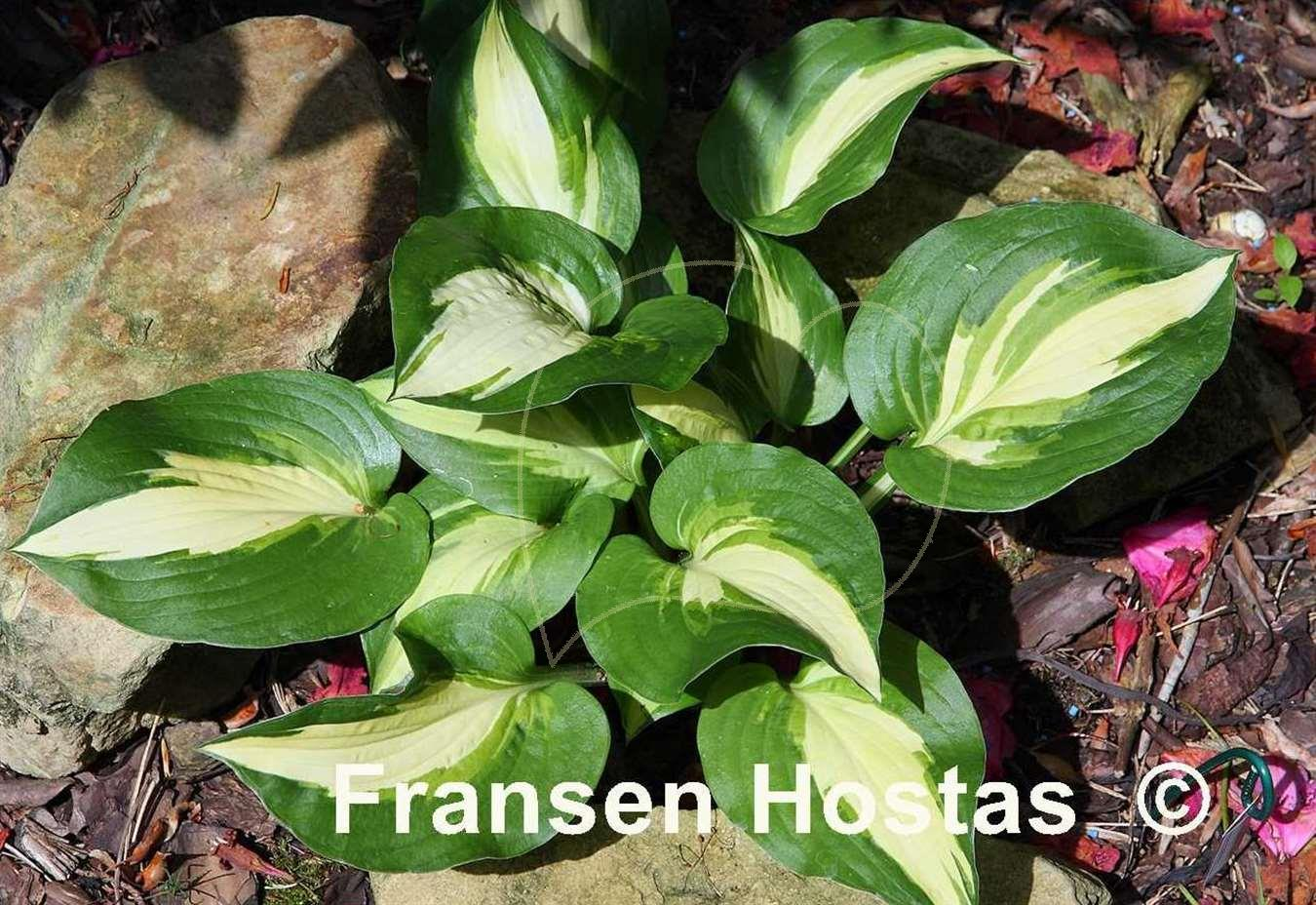Hosta Lakeside Meter Maid