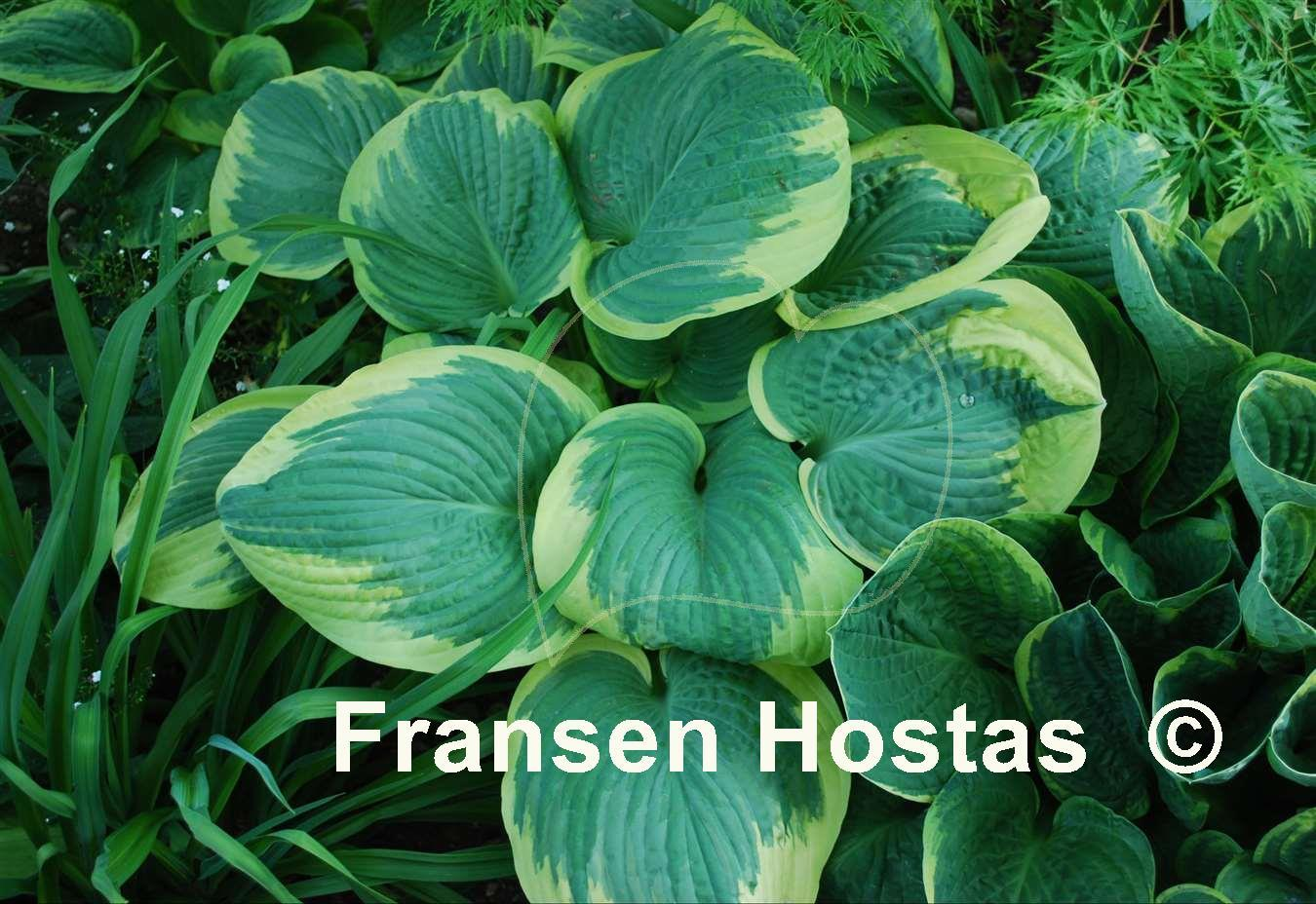 hosta robert frost funkie fransen hostas. Black Bedroom Furniture Sets. Home Design Ideas
