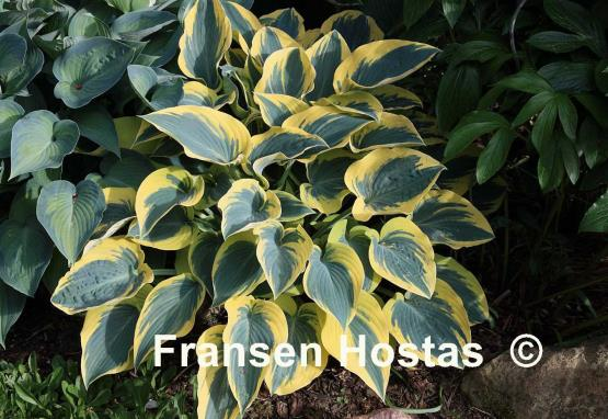 Hosta%20First-Frost-photo-made-by-Gromit