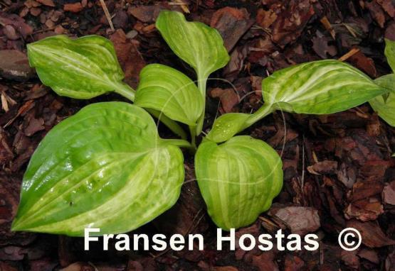 Hosta Flower Song Fransen Hostas