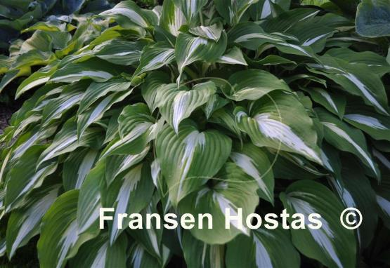Hosta Night before Christmas - Fransen Hostas