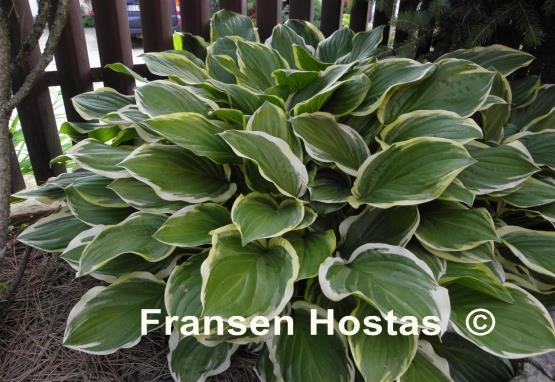 Hosta So Sweet Fransen Hostas