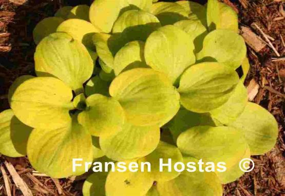 Hosta Sun Mouse Fransen Hostas